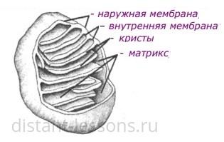 строение и функции митохондрии