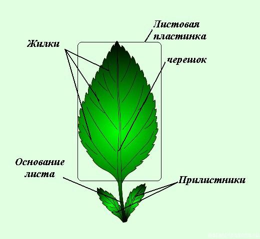Внешнее и внутреннее строение листа