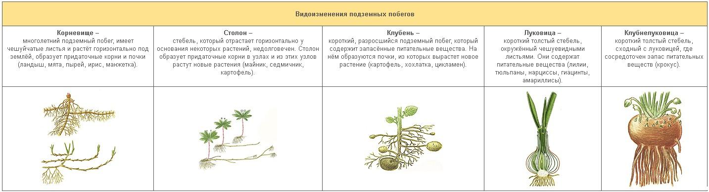 видоизмененные класс 6 шпаргалка луковица побеги