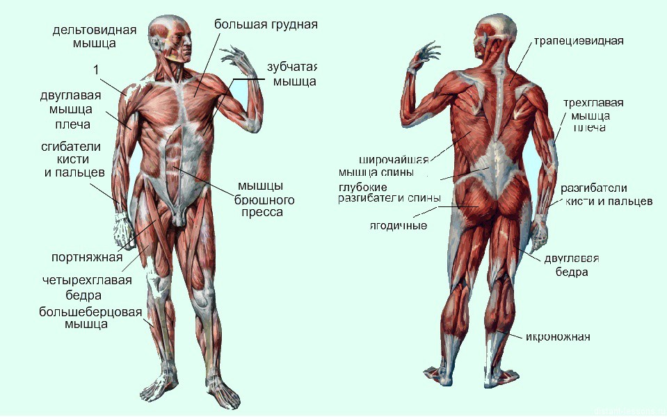 Схема строения мышцы человека