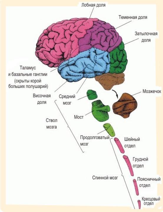 цнгтральная и периферическая нервная система
