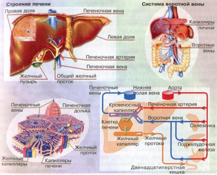 печень в организме человека