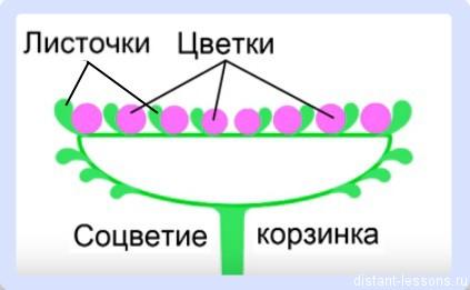 семейства двудольных