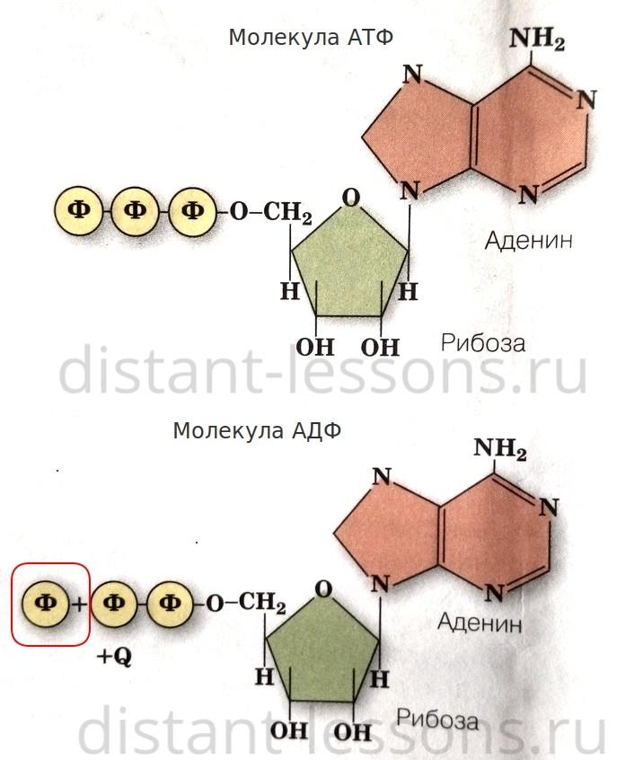 молекула АТФ